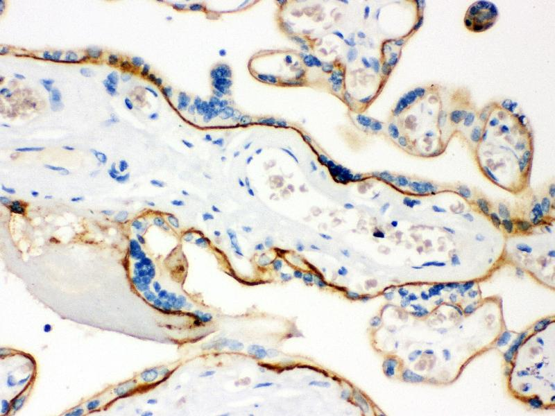 Immunohistochemistry (IHC) image for anti-CD55 antibody (Complement Decay-Accelerating Factor) (AA 35-347) (ABIN3043393)