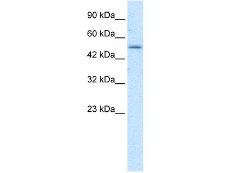 Western Blotting (WB) image for anti-Zinc Finger Protein 683 (ZNF683) (N-Term) antibody (ABIN183319)