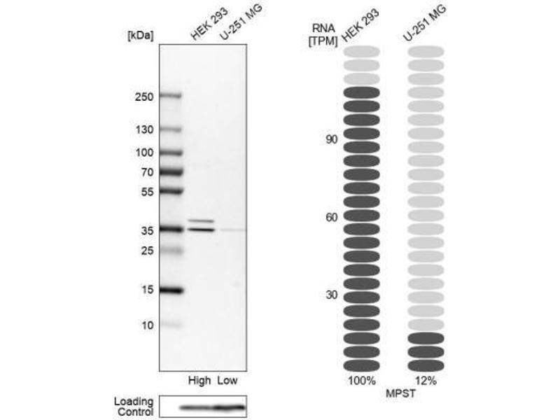 Image no. 1 for anti-Mercaptopyruvate Sulfurtransferase (MPST) antibody (ABIN4335380)