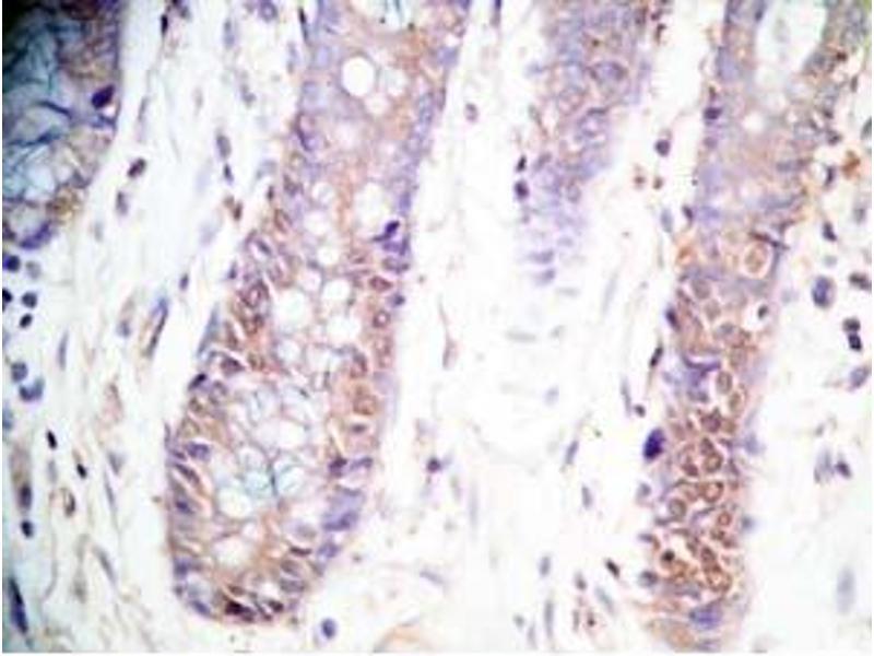 Immunohistochemistry (IHC) image for anti-Cholecystokinin (CCK) antibody (ABIN2871739)