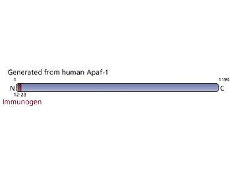 image for anti-Apoptotic Peptidase Activating Factor 1 (APAF1) (AA 12-28) antibody (ABIN967648)