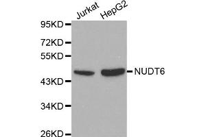 Image no. 2 for anti-Nudix (Nucleoside Diphosphate Linked Moiety X)-Type Motif 6 (NUDT6) antibody (ABIN6566541)