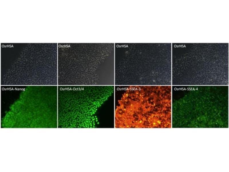 Immunofluorescence (IF) image for Human Serum Albumin (HSA) protein (ABIN488498)
