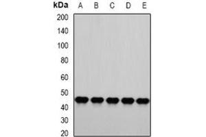Image no. 2 for anti-Proteasome (Prosome, Macropain) 26S Subunit, ATPase, 4 (PSMC4) (full length) antibody (ABIN6005020)