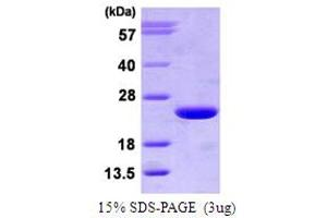 Image no. 1 for ADP-Ribosylation Factor 3 (ARF3) (AA 1-181) protein (His tag) (ABIN666643)