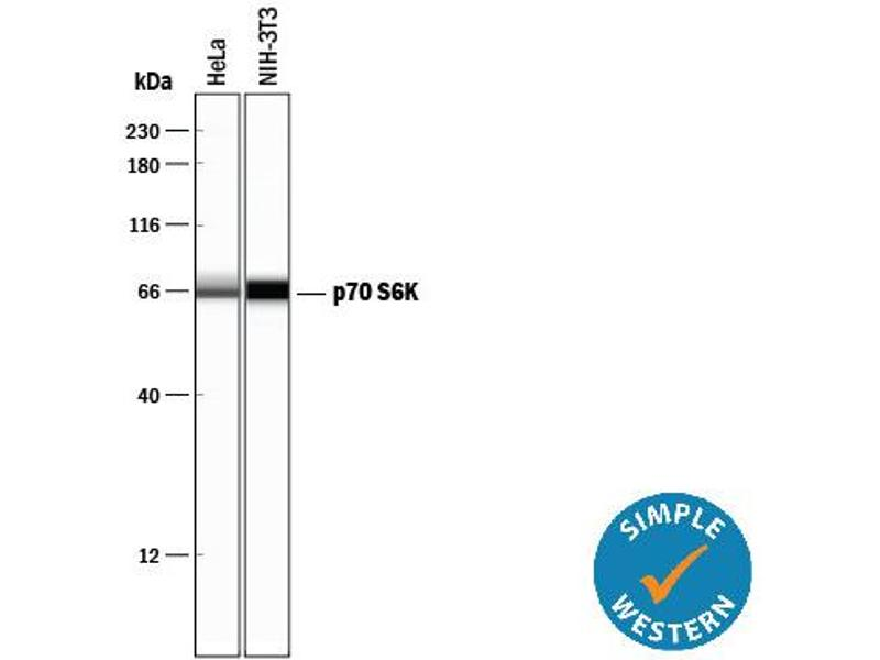Simple Western (SimWes) image for anti-Ribosomal Protein S6 Kinase, 70kDa, Polypeptide 1 (RPS6KB1) antibody (ABIN4900838)