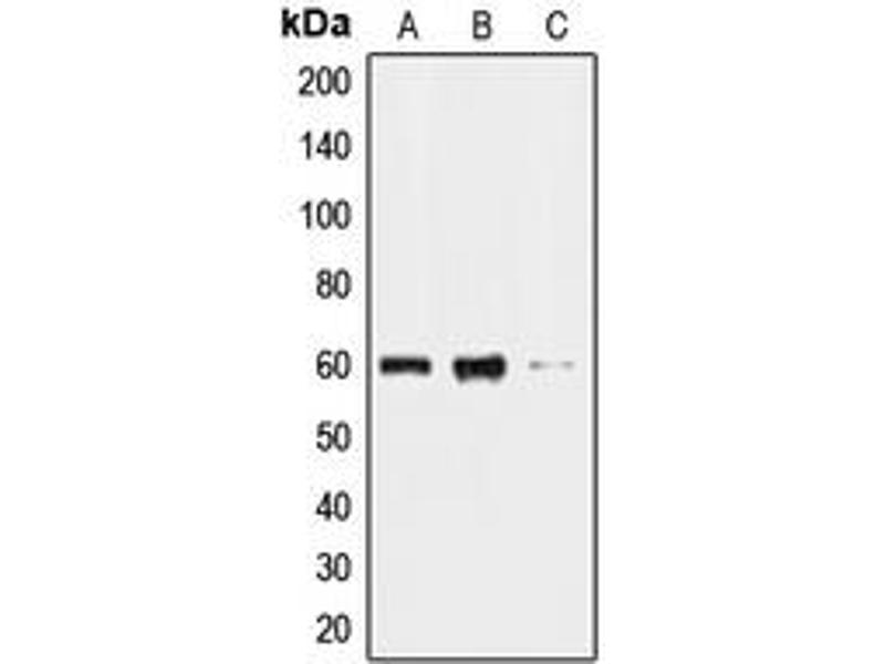 Image no. 2 for anti-CDC-Like Kinase 2 (CLK2) (N-Term) antibody (ABIN2707431)
