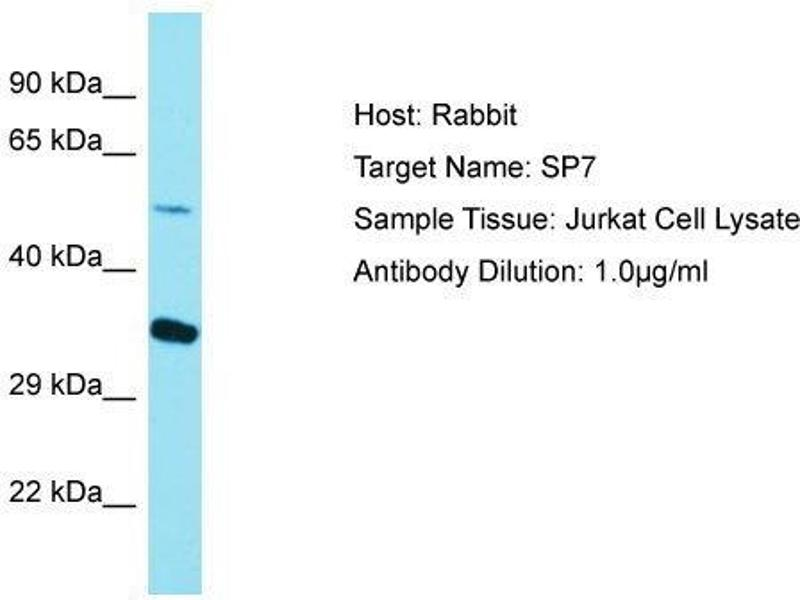 Western Blotting (WB) image for anti-Sp7 Transcription Factor (SP7) (C-Term) antibody (ABIN971761)