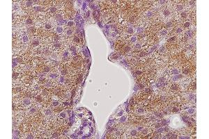 Immunohistochemistry (Paraffin-embedded Sections) (IHC (p)) image for anti-Growth Hormone Receptor antibody (GHR) (AA 290-340) (ABIN671481)