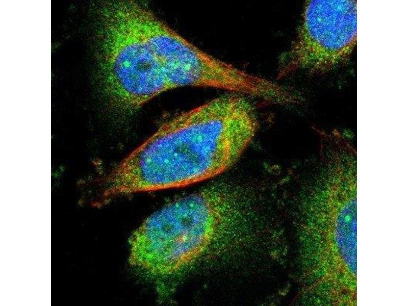 Immunofluorescence (IF) image for anti-RBBP9 抗体 (Retinoblastoma Binding Protein 9) (ABIN4349524)