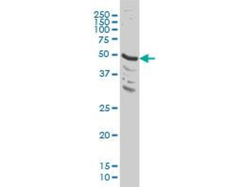 Western Blotting (WB) image for anti-MAPK9 antibody (Mitogen-Activated Protein Kinase 9) (AA 321-424) (ABIN562414)