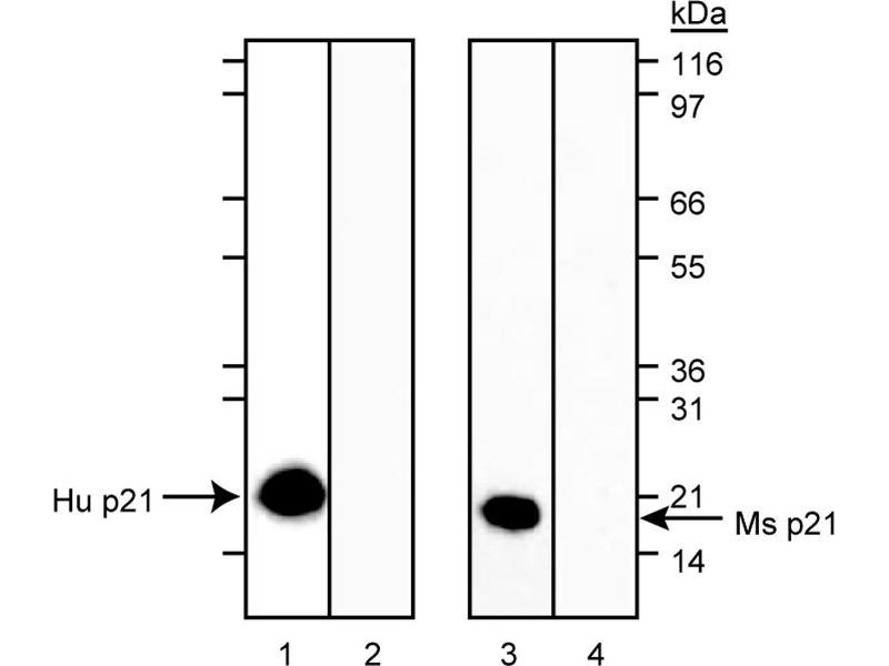Western Blotting (WB) image for anti-K-RAS antibody (GTPase Kras) (ABIN967528)