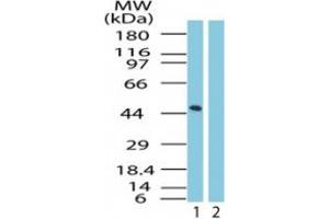 Image no. 2 for anti-G Protein-Coupled Receptor 83 (GPR83) (AA 200-250) antibody (ABIN207664)