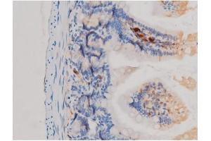 Image no. 2 for anti-Cell Division Cycle 25 Homolog A (S. Pombe) (CDC25A) (pSer75) antibody (ABIN6255495)