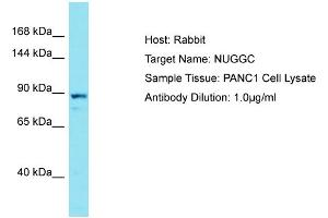 Image no. 1 for anti-Nuclear GTPase, Germinal Center Associated (NUGGC) (C-Term) antibody (ABIN2791427)