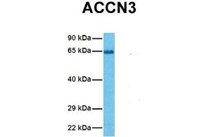 Image no. 3 for anti-Amiloride-Sensitive Cation Channel 3 (ACCN3) (N-Term) antibody (ABIN2776167)