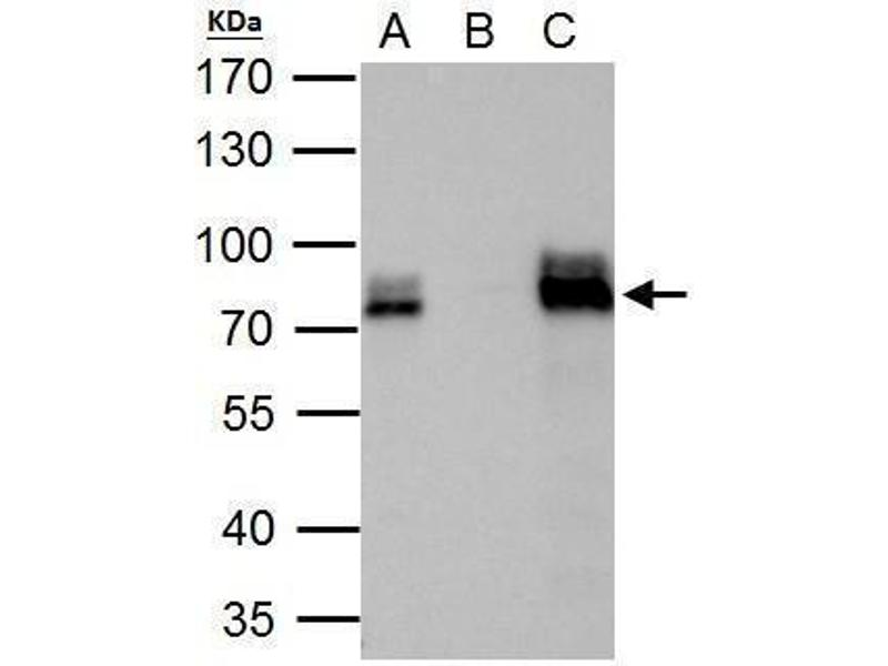 Immunoprecipitation (IP) image for anti-AT Rich Interactive Domain 3A (BRIGHT-Like) (ARID3A) (Internal Region) antibody (ABIN2856170)