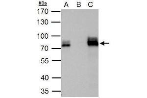 Immunoprecipitation (IP) image for anti-AT Rich Interactive Domain 3A (BRIGHT-Like) (ARID3A) (Internal Region) antibody (ABIN2856170)