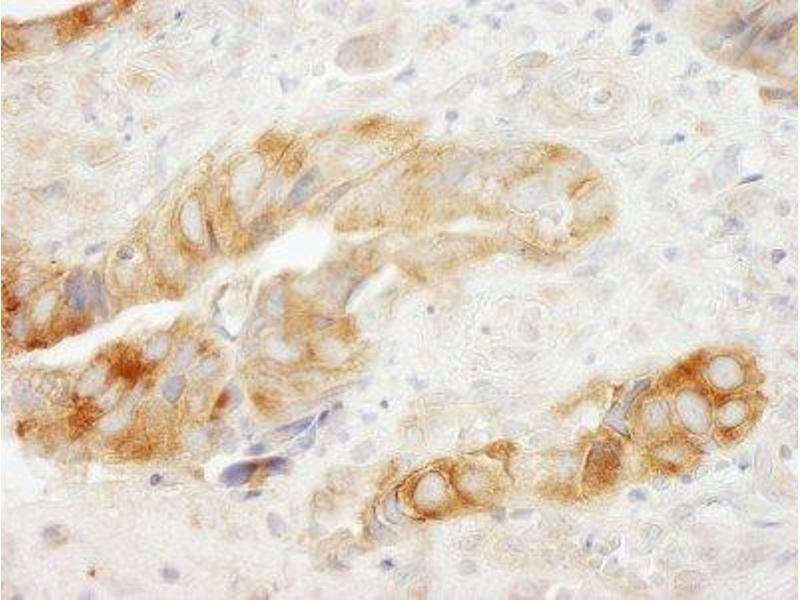 Immunohistochemistry (Paraffin-embedded Sections) (IHC (p)) image for anti-Eukaryotic Translation Elongation Factor 1 gamma (EEF1G) (AA 200-250) antibody (ABIN250648)