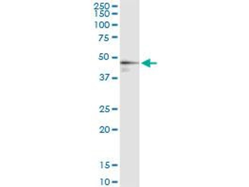 Immunoprecipitation (IP) image for anti-Farnesyl Diphosphate Synthase (FDPS) (AA 1-419), (full length) antibody (ABIN515584)