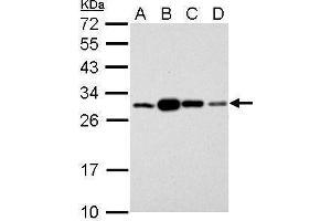 Western Blotting (WB) image for anti-Stratifin Antikörper (SFN) (C-Term) (ABIN2854692)