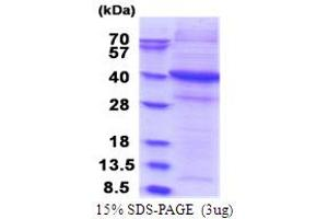 Image no. 1 for Signal-Regulatory Protein gamma (SIRPG) (AA 29-360) protein (His tag) (ABIN5853791)