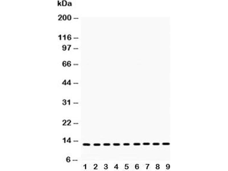 Western Blotting (WB) image for anti-Cytochrome C antibody (Cytochrome C, Somatic) (AA 2-105) (ABIN3030667)