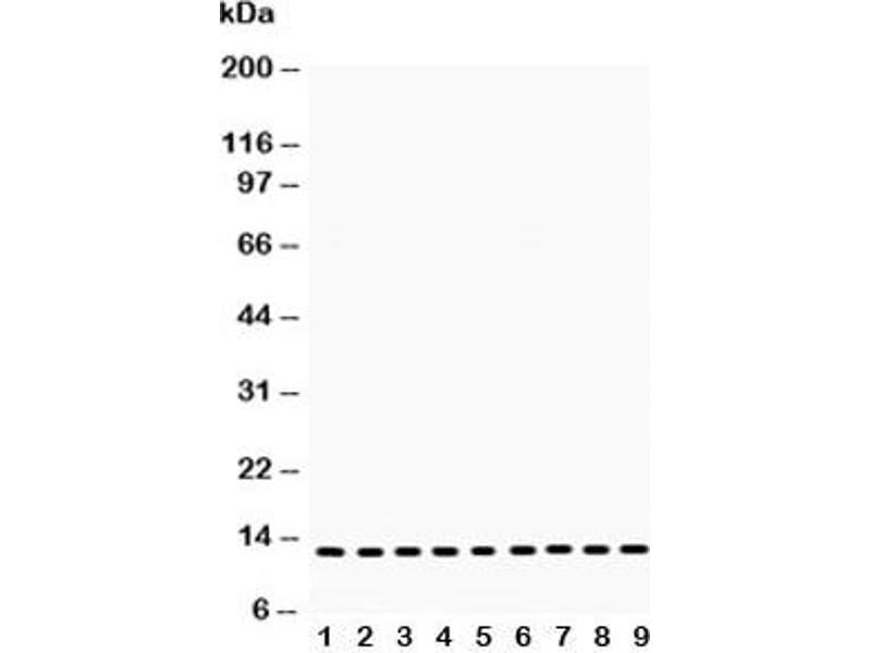 Western Blotting (WB) image for anti-Cytochrome C, Somatic (CYCS) (AA 2-105) antibody (ABIN3030667)
