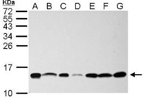 Image no. 2 for anti-NHP2 Non-Histone Chromosome Protein 2-Like 1 (S. Cerevisiae) (NHP2L1) (full length) antibody (ABIN2856662)