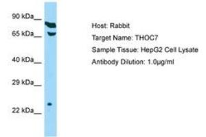 Image no. 1 for anti-THO Complex 7 Homolog (Drosophila) (THOC7) (C-Term) antibody (ABIN6750143)