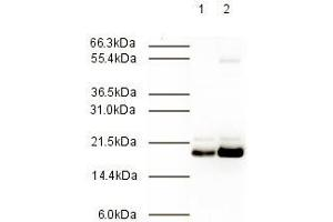 Western Blotting (WB) image for anti-MAD2 Mitotic Arrest Deficient-Like 2 (Yeast) (MAD2L2) (AA 3-14) antibody (ABIN117980)