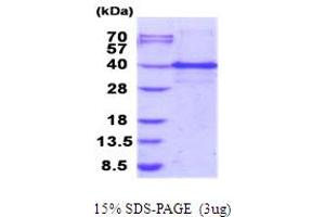 Image no. 1 for Inhibitor of Growth Family, Member 1 (ING1) (AA 1-279) protein (His tag) (ABIN5853981)