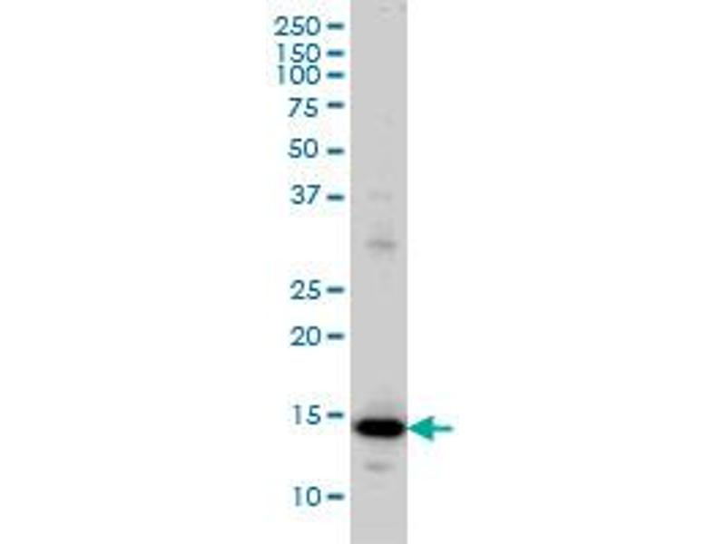 Western Blotting (WB) image for anti-Ribosomal Protein L36a (RPL36A) (AA 7-106), (partial) antibody (ABIN562709)