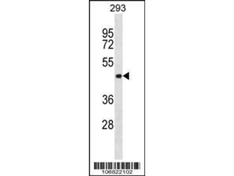 Western Blotting (WB) image for anti-Aurora Kinase C antibody (AURKC) (AA 115-145) (ABIN390979)
