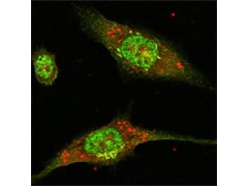 Immunofluorescence (IF) image for anti-ERK2 antibody (Mitogen-Activated Protein Kinase 1) (ABIN1107133)