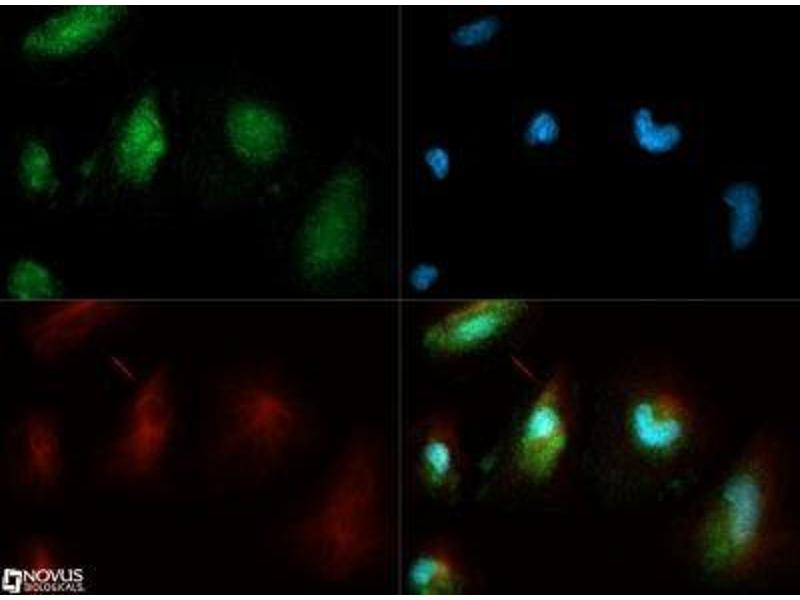 Immunofluorescence (IF) image for anti-Calnexin (CANX) (AA 550-591), (C-Term) antibody (ABIN151474)