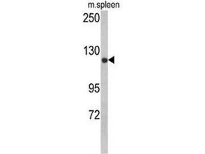 Western Blotting (WB) image for anti-Cytoplasmic Linker Associated Protein 2 (CLASP2) (AA 1005-1034) antibody (ABIN951541)