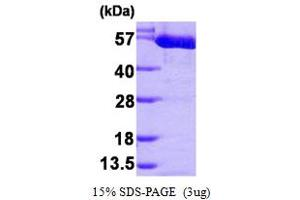 Image no. 1 for Pyruvate Kinase M2 (PKM2) (AA 1-531) protein (His tag) (ABIN666913)