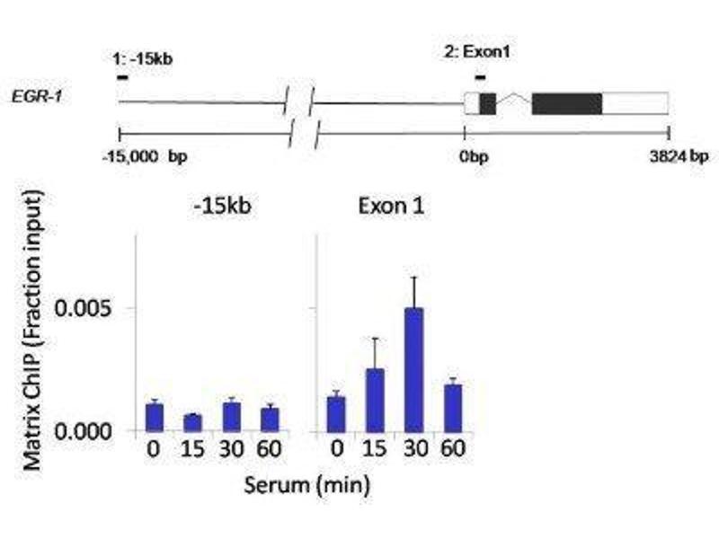 Immunoprecipitation (IP) image for anti-Mitogen-Activated Protein Kinase 3 (MAPK3) antibody (ABIN4309389)