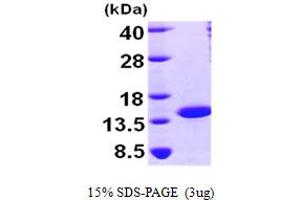 Image no. 1 for Nuclear Transport Factor 2 (NUTF2) (AA 1-127) protein (His tag) (ABIN667022)