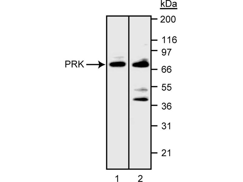 Western Blotting (WB) image for anti-Polo-Like Kinase 3 (PLK3) (AA 334-607) antibody (ABIN967544)