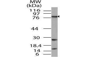 Image no. 1 for anti-TGF-beta Activated Kinase 1/MAP3K7 Binding Protein 3 (TAB3) (AA 1-385) antibody (ABIN5027557)