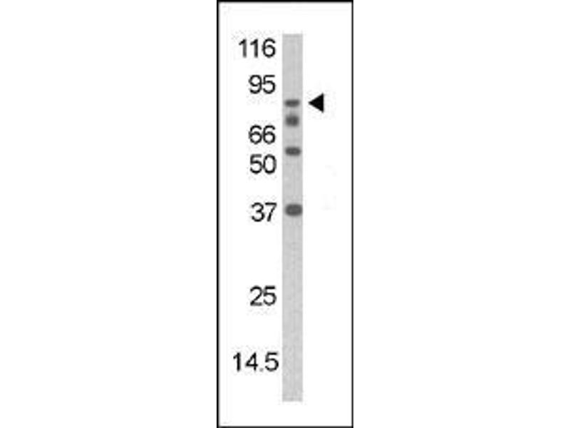 Western Blotting (WB) image for anti-Death-Domain Associated Protein (DAXX) (pSer213) antibody (ABIN389550)