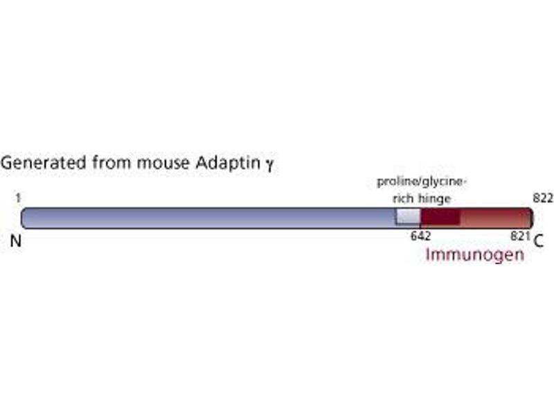 Image no. 3 for anti-gamma 1 Adaptin antibody (Adaptor-Related Protein Complex 1, gamma 1 Subunit) (AA 642-821) (ABIN967935)