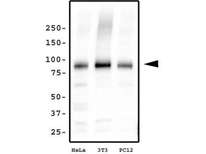 Western Blotting (WB) image for anti-Kinesin Heavy Chain Member 2A (KIF2A) (N-Term) antibody (ABIN152994)