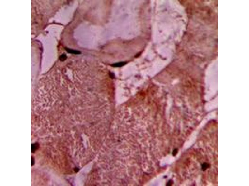 Image no. 2 for anti-Vinculin (VCL) (Center) antibody (ABIN2707245)