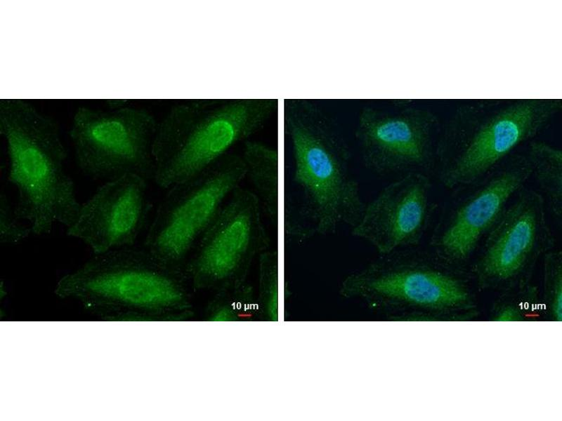 Immunofluorescence (IF) image for anti-JAK2 antibody (Janus Kinase 2) (N-Term) (ABIN2854944)