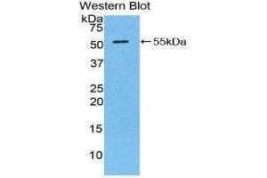 Image no. 1 for anti-Granzyme D (GZMD) (AA 33-245) antibody (ABIN1859109)