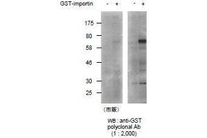 Image no. 1 for anti-Glutathione S Transferase (GST) (full length) antibody (ABIN2451992)