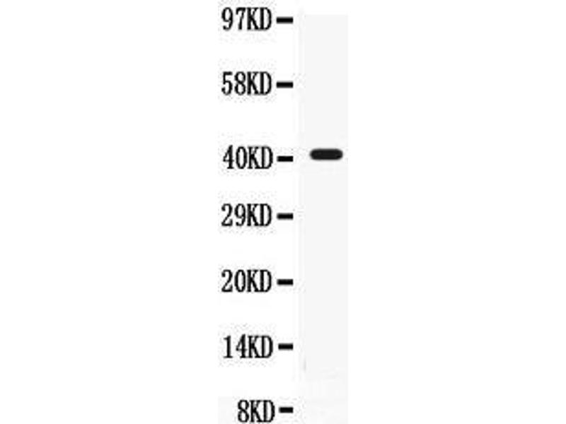 Western Blotting (WB) image for anti-CD55 antibody (Complement Decay-Accelerating Factor) (AA 35-347) (ABIN3043393)